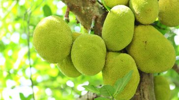 Jackfruit Nutrition and Benefits